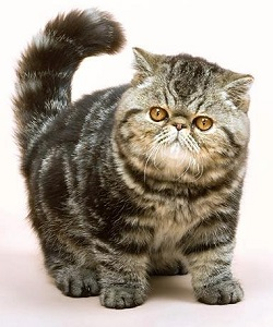 Exotic Shorthair Cat Breeders and Information