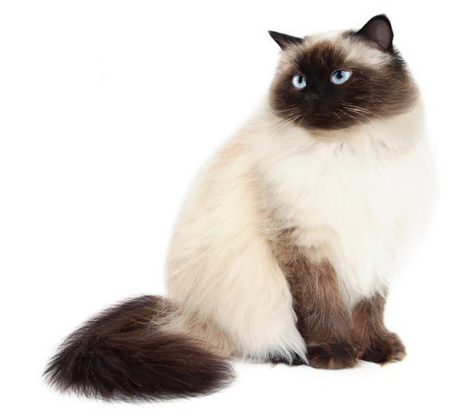 Himalayan Cat Breeders and Information