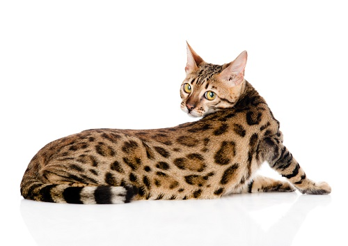 Bengal Cat Breeders And Information