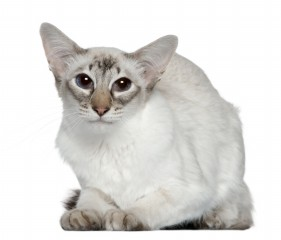Balinese Kittens For Sale In Ohio