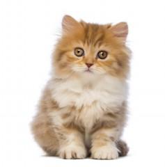 British Longhair Kittens For Sale