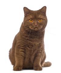 British shorthair kittens for sale alabama
