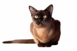 Burmese Kittens For Sale In Illinois