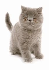 Exotic Shorthair Kittens For Sale In Texas