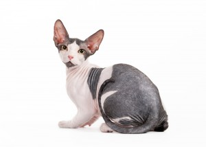 Sphynx Kittens For Sale In Georgia