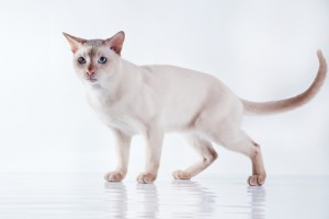 Tonkinese Kittens For Sale In Georgia