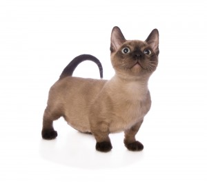 Munchkin Kittens For Sale In Florida