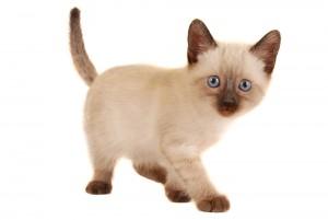 Siamese Kittens For Sale In Pennsylvania