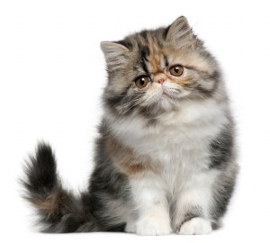 Persian cats for sale kansas